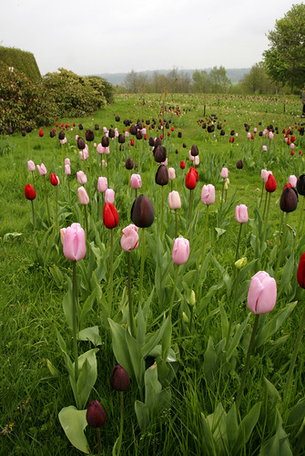 TULIPS | by Adam Swaine