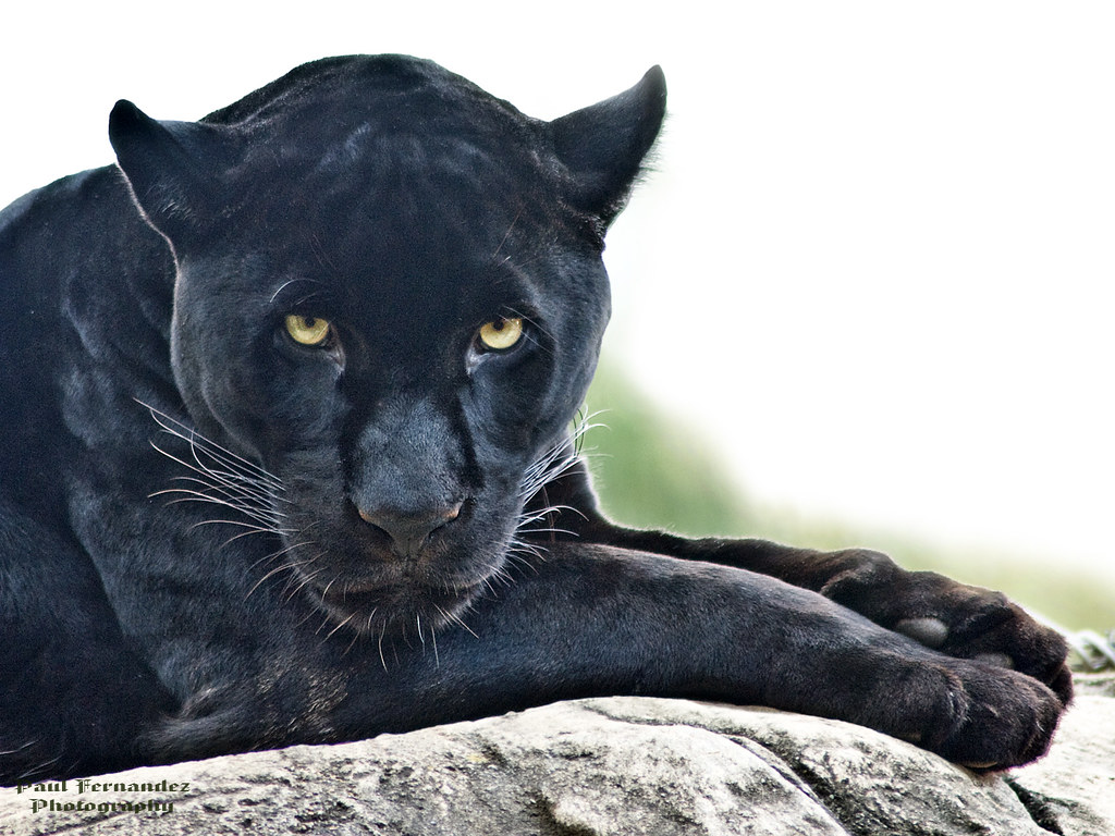 ... Black Jaguar Gazes At You At The Memphis Zoo | By D200 PAUL