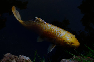 Golden Koi | by fasaxc