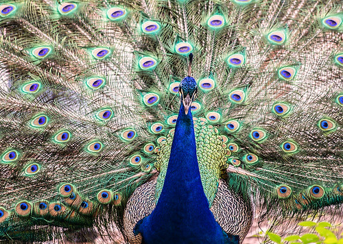 Peacock Showoff | by Scott Clements