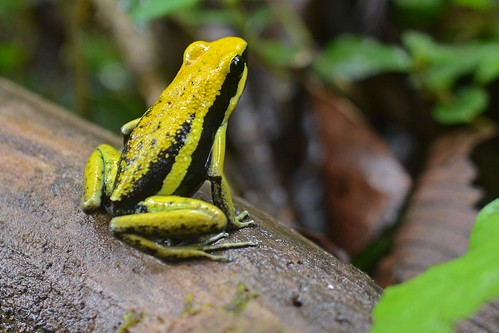 Pleasing poison frog | by ggallice