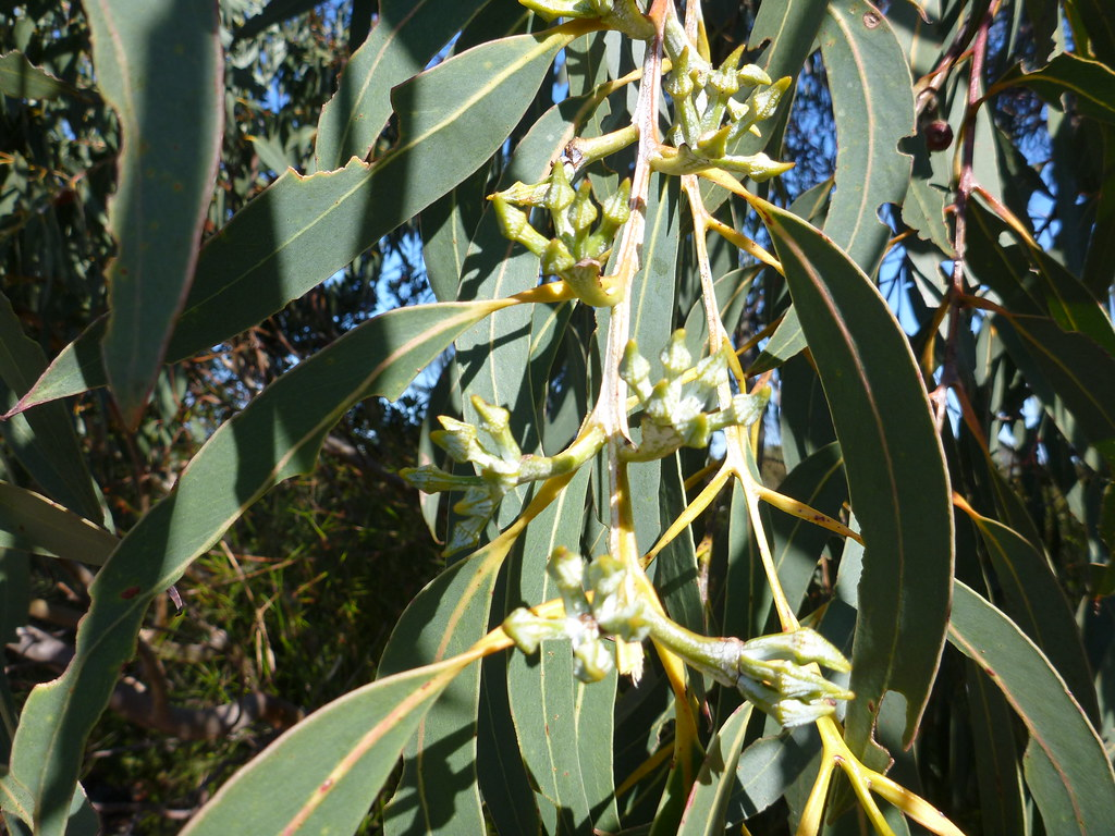 Eucalyptus luehmanniana Eucalyptus luehmanniana buds Flower buds of the Yellow T Flickr