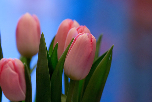 Tulips | by Dragonflies forever