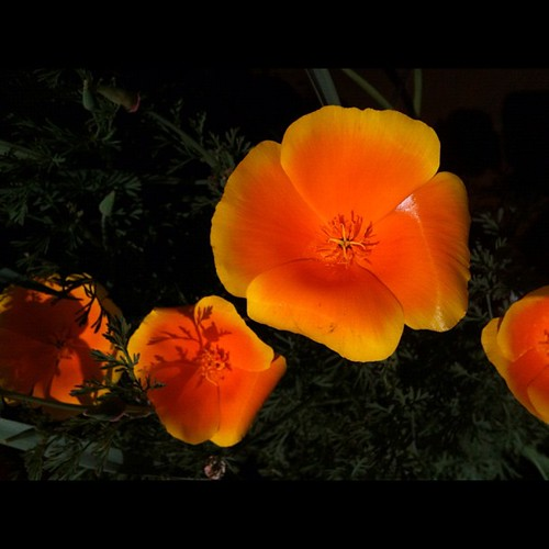 I'm in love with CA poppies | by carole_colors