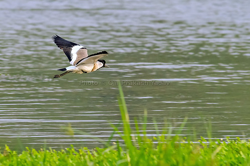 River Lapwing in Flight | by yadavop