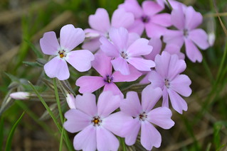 Phlox speciosa | by redvi0let