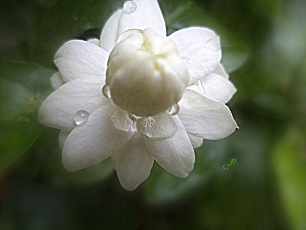 mogra flower jay flickr