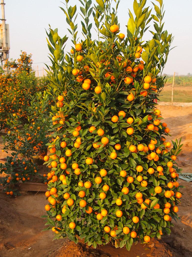 Kumquat Tree In Vietnam Amanda Flickr