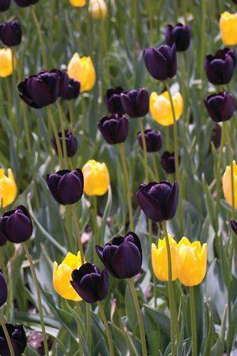Black & gold tulips at UWM | by UW Milwaukee
