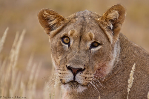 Kgalagadi lioness | by gerdavs