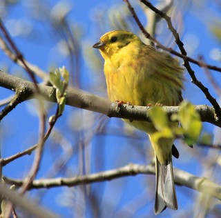 Yellowhammer? | by Gazasal