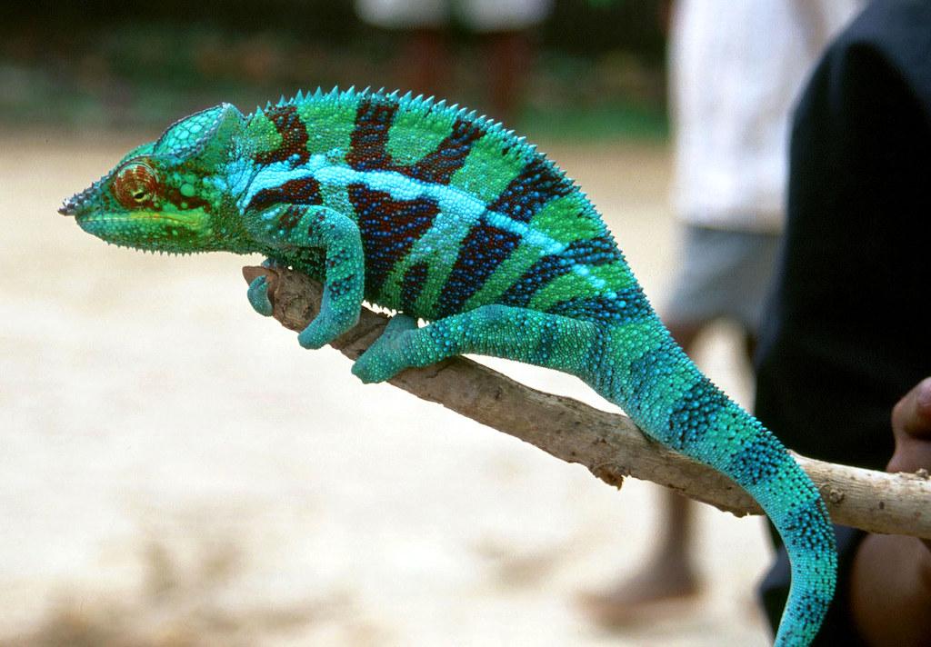 Image result for Panther Chameleon (Furcifer pardalis)