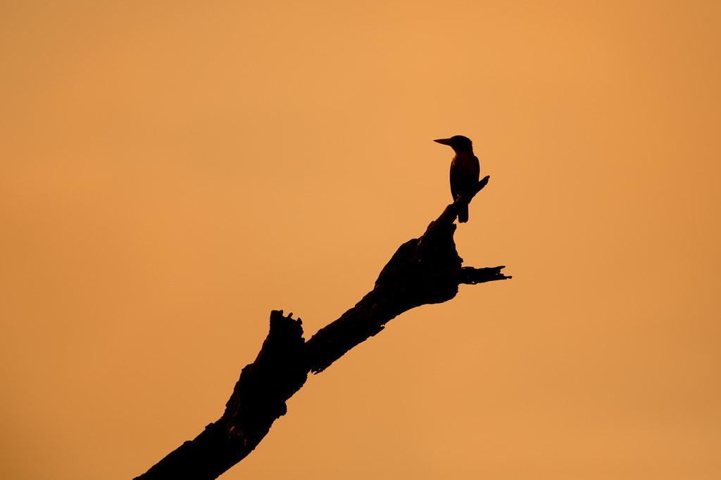 kingfisher silhouette by gerdavs kingfisher silhouette by gerdavs