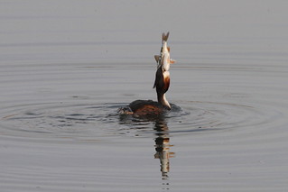 Great Crested Grebe (I will eat that fish), Herriots Pool, Chew Valley Lake, Somerset | by Andy_Hartley