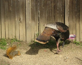 1squirrel turkey patrick barry ph | by Contra Costa Times