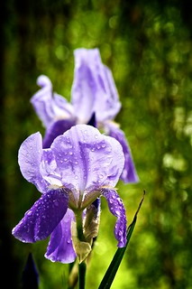 Doubly Iris | by Grant is a Grant