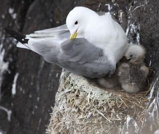 KITTIWAKE&CHICKS | by Val Gall