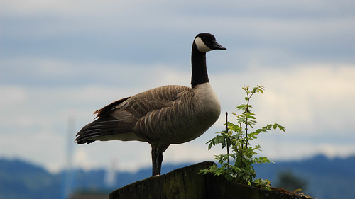 This goose was just chillin | by AdamsBullDozer