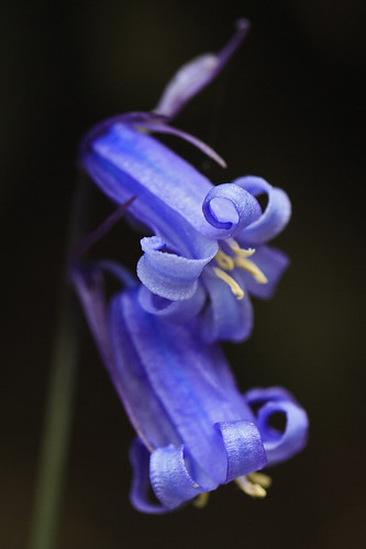 Bluebell cropped | by DrRob