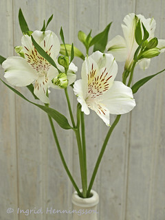White Alstroemeria | by Of Spring and Summer