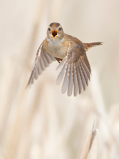 Sedge Wren Calling In-flight | by Jeff Dyck