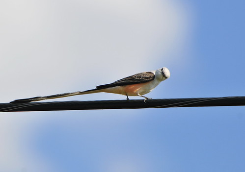 Scissor-tailed Flycatcher giving me a look! | by Ruthie Kansas