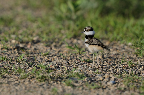 Killdeer baby_5422.jpg | by Mully410 * Images