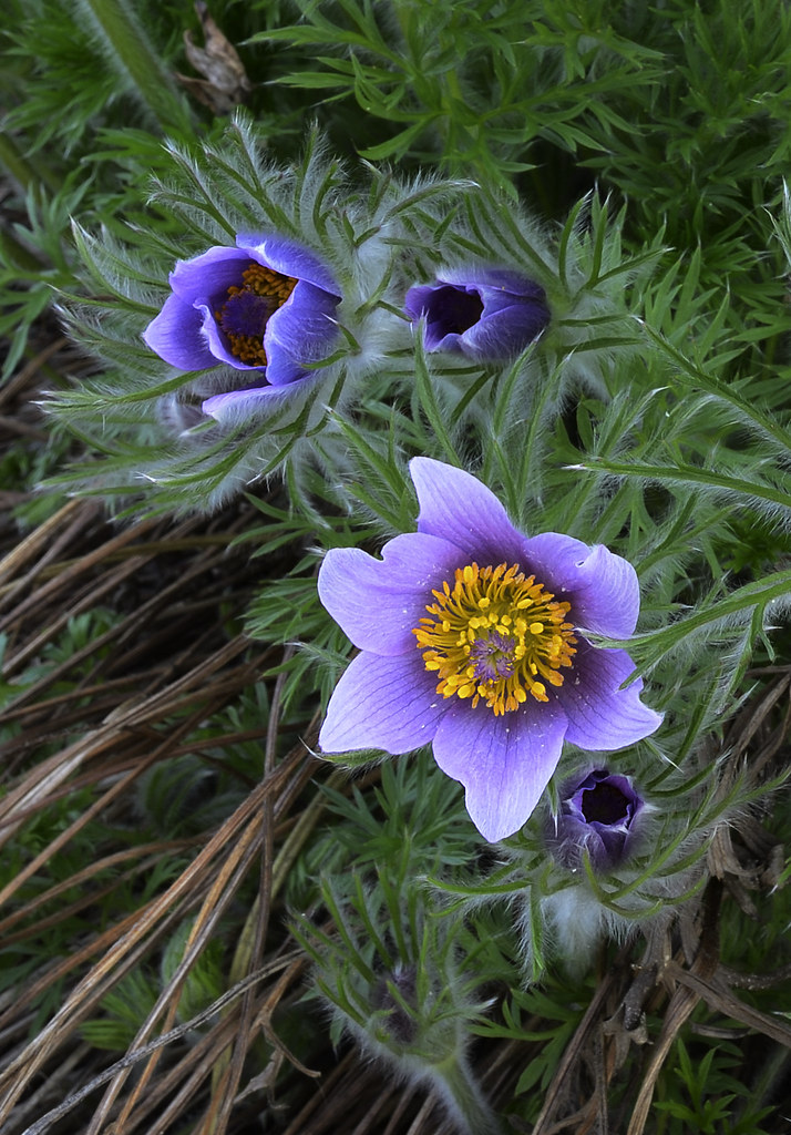 south dakota state flower pasque flower by pi fotog