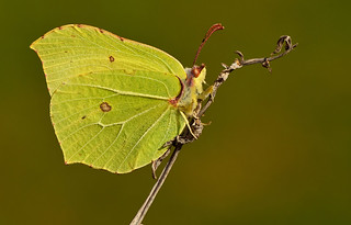 Brimstone Butterfly, Gonepteryx rhamni - male - Explored 2nd April 2012 | by Pete Withers