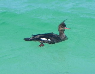 2012 04 14_9106_red-breasted merganser | by nbc_2011