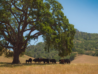 Cows on the Shade | by Franco Folini