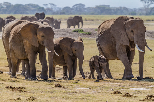 Elephants Family | by blieusong