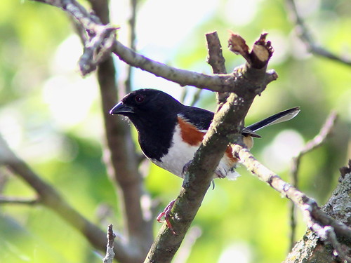 Eastern Towhee 20120524 | by Kenneth Cole Schneider