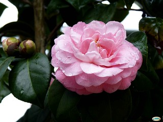 Camelia1761 | by juantiagues