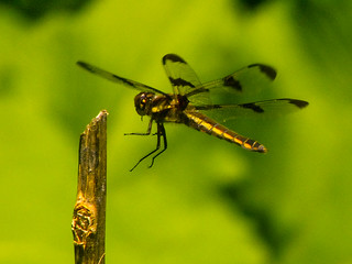 Twelve-spotted Skimmer | by Happy_Peasant