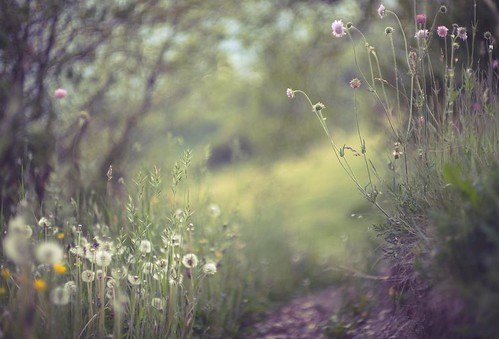 obligatory dandelions 2012 | by dapalmerpeter (slow & low)