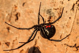 Black Widow | by Marvin Bredel