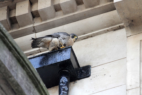 Manchester's Peregrine Falcon (female), Falco peregrinus, 18th March  2012 A.Dancy CR 084a | by Adrian Dancy