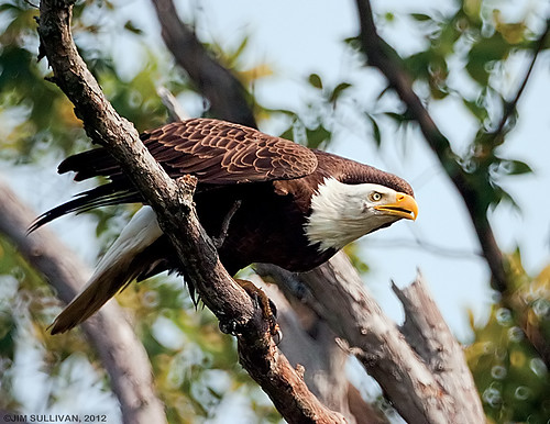 Bald Eagle by Jim Sullivan | by jb.sullivan
