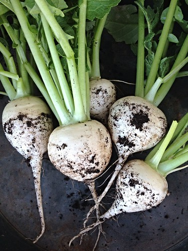 Turnip Harvest 1.2014 | by Rosa Say