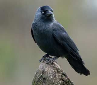 Jackdaw | by Margaret S.S