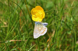 Common Blue | by OWL62