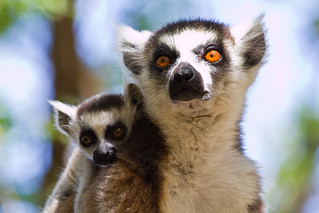 Lemur Catta | by Gareth Codd Photography