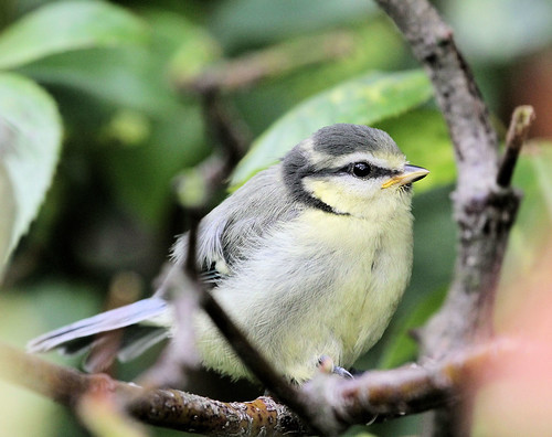 Blue Tit (Fledgling) | by KingfisherDreams