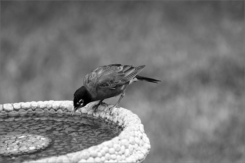 Robin at his Birdbath | by joeldinda