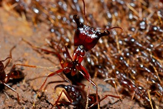 Army Ants (Dorylus sp.) | by berniedup