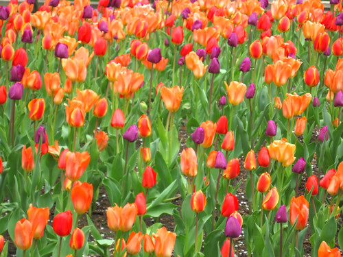 Tulips in Millennium Park, Chicago | by Eastlake Victorian