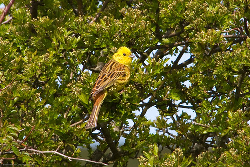 Yellowhammer (Emberiza citrinella) | by BiteYourBum.Com Photography