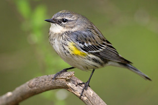 Bentsen Yellow-rumped Warbler | by Jeff Dyck
