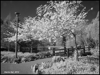Infrared Cherry Blossoms at Minoru Park - IR Cherry X0455e | by Harris Hui (in search of light)